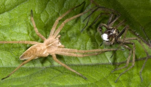 OI-0054 Hunting spider, male and female