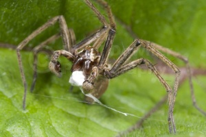 OI-0055 Hunting spider, male