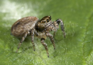 OI-0071 Woodland jumping spider
