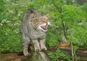 MA-0001 Scottish wildcat