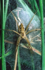 OI-0090 Hunting spider or Nursery web spider