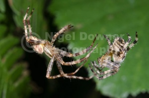 OI-0091 Garden spiders courting