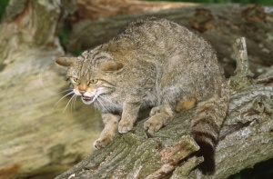 MA-0002 Scottish wildcat