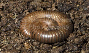 OI-0097 Giant African millipede