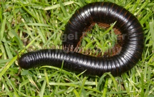 OI-0098 Giant African millipede