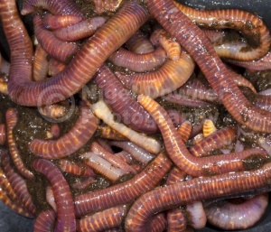 OI-0100 Brandling worms or Red worms