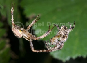 OI-0105 Garden spiders courting