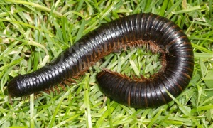 OI-0120 Giant African millipede