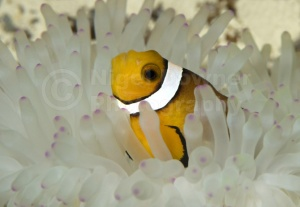 ML-0018 Common clownfish