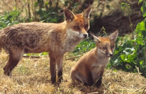 MA-0007 Red fox and cub
