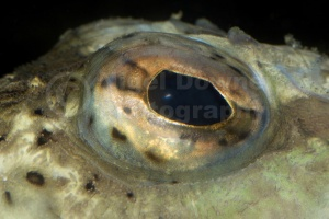 ML-0026 Great weever fish eye abstract