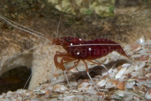 ML-0031 Fire shrimp