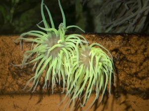 ML-0035 Snakelocks anemone