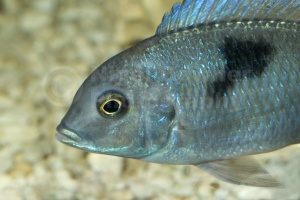 ML-0054 Opaline gourami or blue gourami