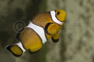ML-0057 Common clownfish