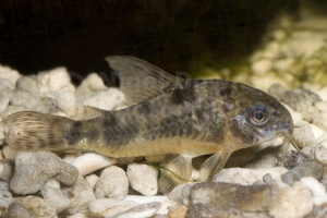 ML-0058 Peppered corydalis catfish