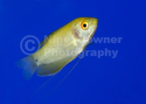 ML-0063 Golden gourami