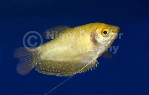 ML-0064 Golden gourami