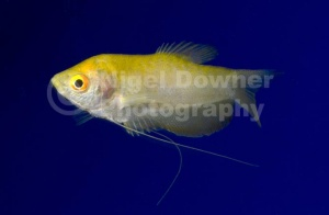 ML-0065 Golden gourami