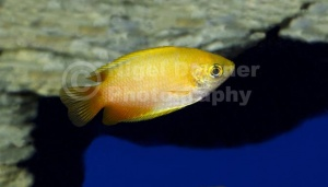 ML-0066 Red gold honey dwarf gourami