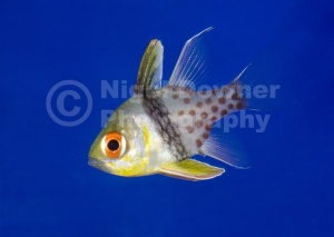 ML-0067 Pajama cardinalfish
