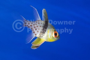 ML-0068 Pajama cardinalfish