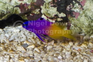 ML-0071 Royal gramma or Fairy basslet