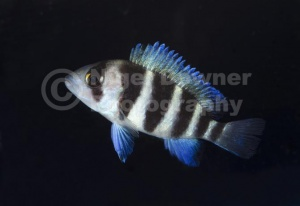 ML-0072 Five-bar cichlid or Dwarf frontosa