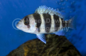 ML-0073 Five-bar cichlid or Dwarf frontosa