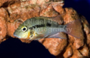 ML-0074 Firemouth cichlid
