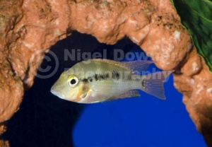ML-0075 Firemouth cichlid