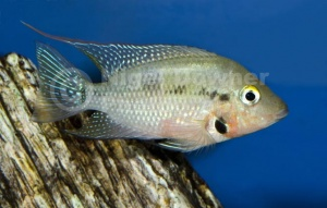 ML-0076 Firemouth cichlid