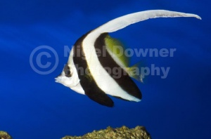 ML-0077 Black and white Heniochus or Longfin Bannerfish or Wimpl
