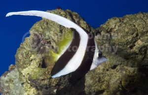 ML-0078 Black and white Heniochus or Longfin Bannerfish or Wimpl