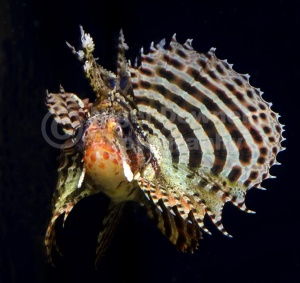 ML-0079 Fuzzy dwarf lionfish or Shortfin lionfish