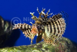 ML-0080 Fuzzy dwarf lionfish or Shortfin lionfish