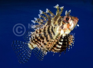 ML-0081 Fuzzy dwarf lionfish or Shortfin lionfish