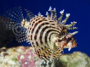 ML-0082 Fuzzy dwarf lionfish or Shortfin lionfish