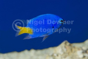 ML-0085 Yellow-tailed blue damselfish