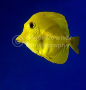ML-0086 Yellow tang