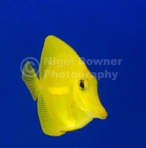 ML-0087 Yellow tang