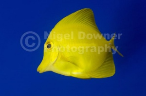 ML-0088 Yellow tang