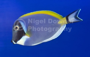 ML-0089 Powder blue tang or Powder blue surgeon