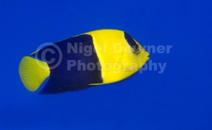 ML-0090 Bicolor cherub or Bicolor angelfish