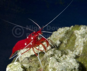 ML-0095 Fire shrimp or Scarlet cleaner shrimp