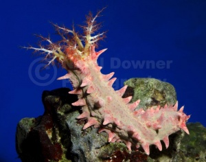 ML-0098 Candy sea cucumber