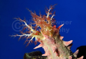 ML-0099 Candy sea cucumber