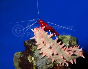 ML-0100 Fire shrimp or Scarlet cleaner shrimp on a Candy sea cucumber
