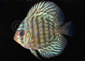ML-0101 Striped turquoise discus