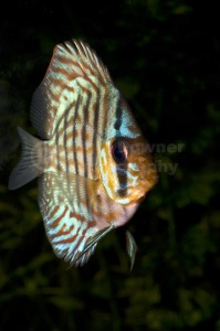 ML-0102 Striped turquoise discus